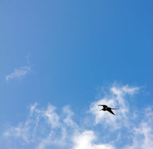 CBAP CCBA ECBA high flyer - oiseau dans le ciel